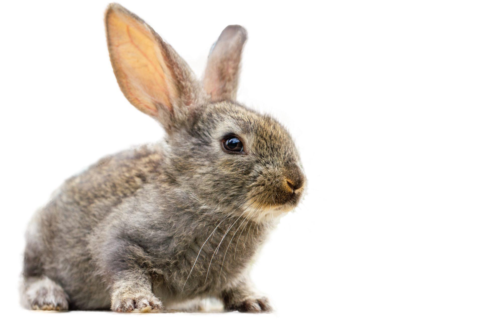 pet household rabbit