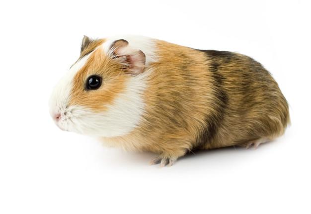 guinea pig pet house