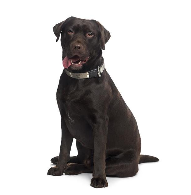 labrador retriever sitting dog