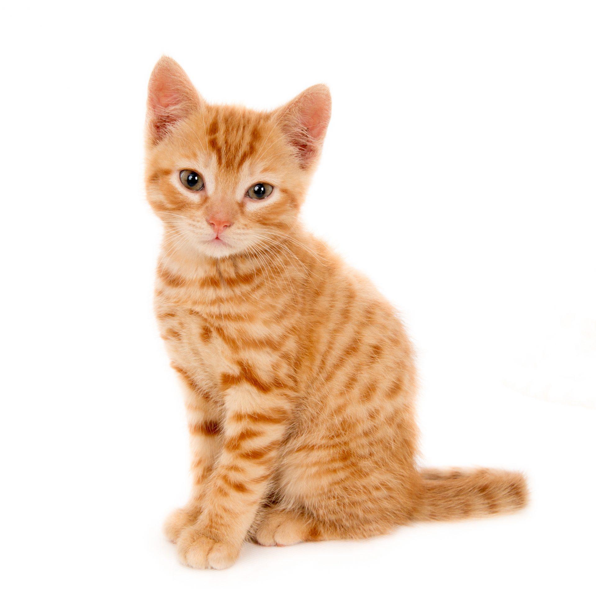 ginger cat sitting pet